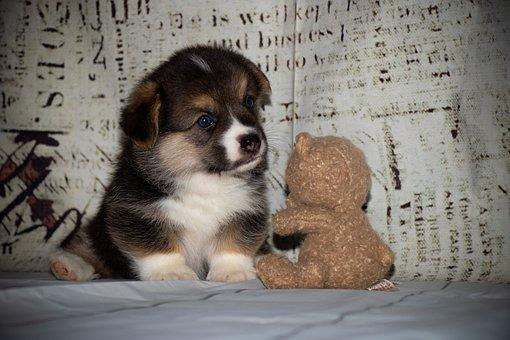 Puppy, Corgi, Welsh Corgi, Redhead, Ears, Funny