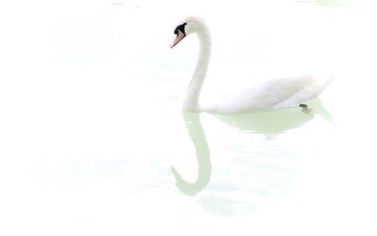 Swan, White, Bird, Reflection, Shadow, High-key