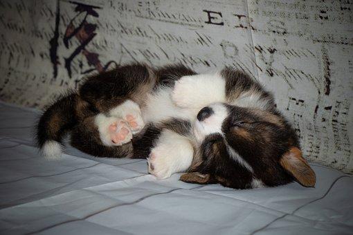 Puppy, Corgi, Sleeping, Toy, Paws, Sleepy, Welsh Corgi
