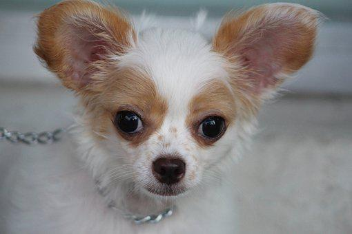 Chihuahua, Puppy, Cute, Pet, Animal, Small, Adorable