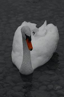 Swan, Red Filter, Animal, Bird, Creature, Lake, Water