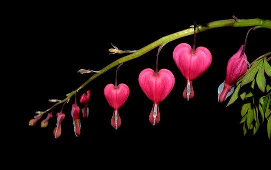 Watery Heart, Flower, Two Tone Heart Flower