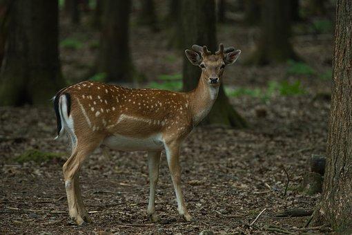 Roe Deer, Fawn, Forest, Red Deer, Wild, Mammal