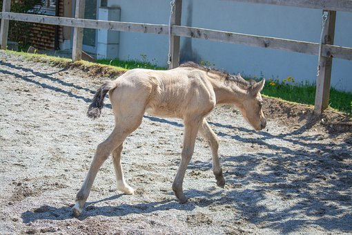 Foal, Mare, Young Animal, Baby Animal, Horse, Pony