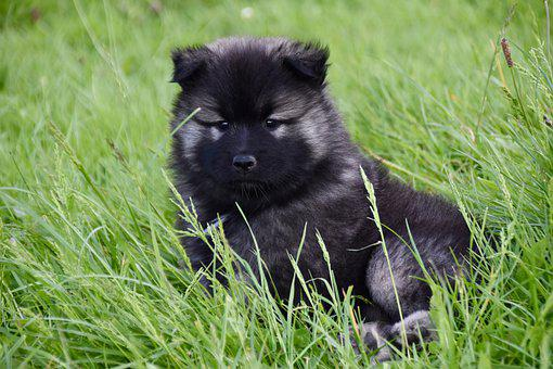 Dog, Puppy, Young Bitch, Eurasier Female, Puppy Female