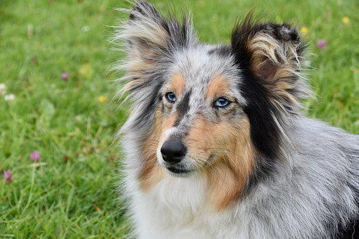 Dog, Bitch Shetland Sheepdog, Color Blue Merle, Animal