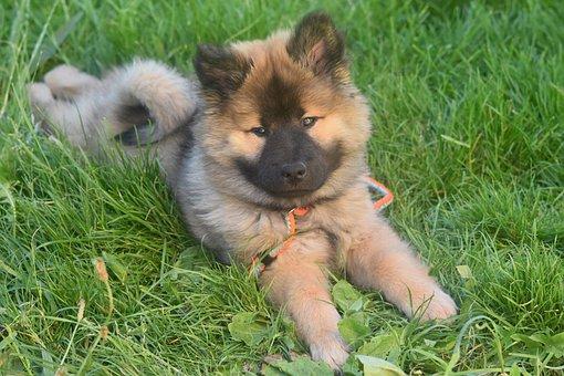 Dog, Pup, Eurasier Puppy, Eurasier, Animal
