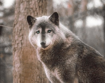 Grey Wolf, Happy, Wild, Timber Wolf, Animal, Canine
