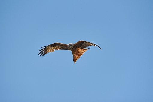 Bird, Red Kite, Milan, Animal World, Raptor, Flying