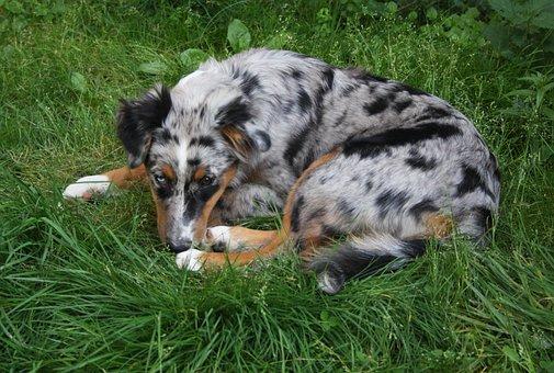 Australia Shepherd, Dog, Colorful Dog, Animal