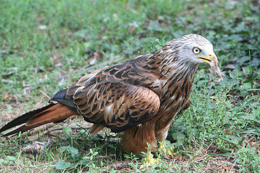 Milan Royal, Auvergne, Bird, Pen, Raptor, Nature, Fauna