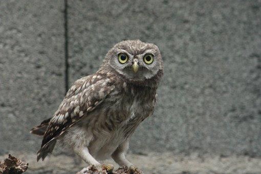 Little Owl Athénas, Owl, Bird, Raptor, Nocturne