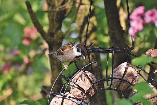 Sparrow, Sperling, Bird, Birdie, Plumage, Songbird