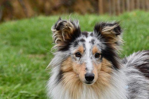 Dog, Bitch, Shetland Sheepdog, Sheltie