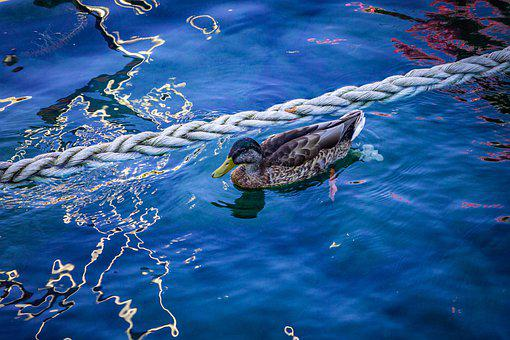 Afternoon, Animal Photography, Blue, Color Image, Duck