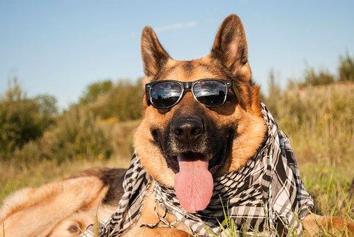 Animal, Bodyguard, Breed, Canine, Cravat, Cute, Dog