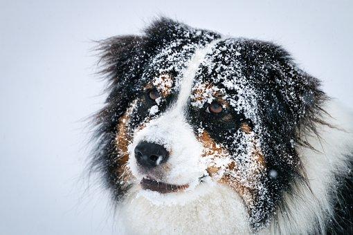 Aussie Shepherd, Aussie, Dog, Cute, Domestic, Shepherd