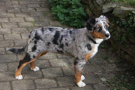 Australia Shepherd, Dog, Colorful Dog, Herding Dog