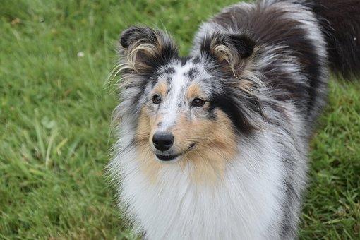 Dog, Bitch, Shetland Sheepdog, Female, Princess Bitch