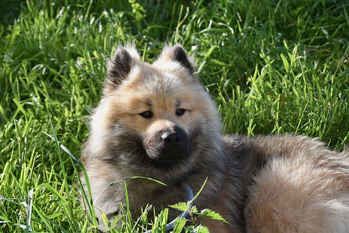 Dog, Young Male Eurasier, Animal, Dog Eurasier Olafblue
