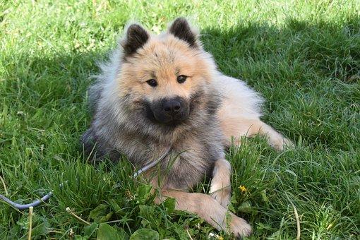 Dog, Dog Eurasier, Male Eurasier, Dog Olafblue