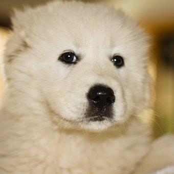 Puppy, Dog, Animal, Maramer, Canine