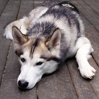 Husky, Dog, Face, Pets, Fur, Canine