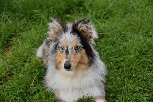 Dog, Bitch, Shetland Sheepdog Blue Eyes, Dog Portrait