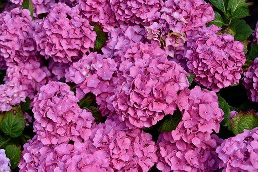 Flower, Flowers, Flower Hydrangea