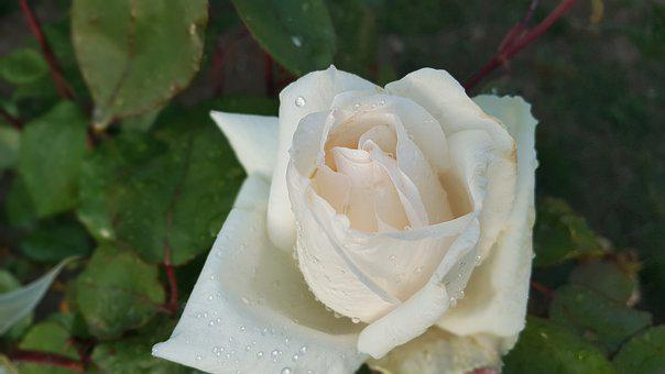 Rose, Raindrops, Garden, Nature, Flower, Green, Floral