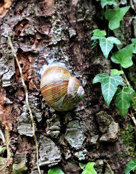 Tree, Snail, Shell, Log, Tree Bark, Ivy, Brown, Green
