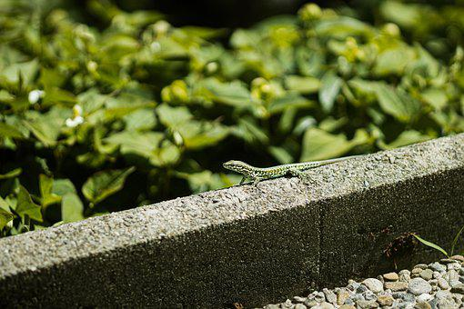 Lizard, Green, Reptile, Animal, Nature, Animal World