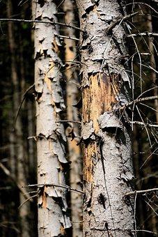 Log, Bark, Bark Beetles, Dying Tree, Drought