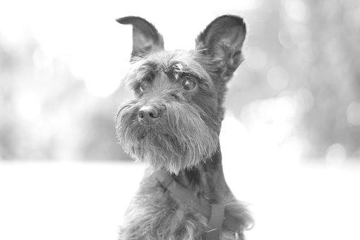 Snorkie, Dog, Puppy, Pet, Animal, Cute