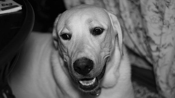 Labrador, Labrador Retriever, Dog, Retriever, Pet