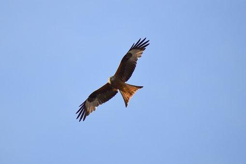 Red Kite, Milan, Raptor, Bird Of Prey, Raptors
