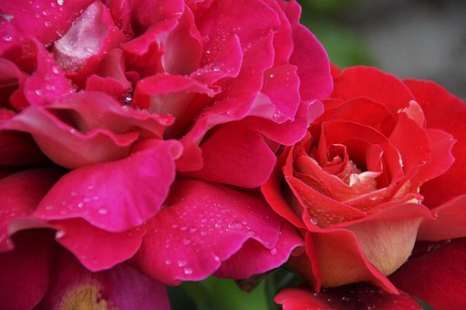 Rose, Flower, Blossoming, Red, Pink, Rain, Drops, Water
