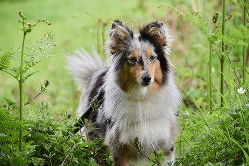 Dog, Bitch, Shetland Sheepdog, Female, Bitch Nobility