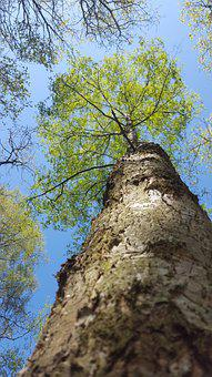 Tree, Silver Birch, Birch Tree, Birch, Nature, Bark