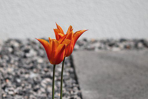 Tulips, Orange, Stone Garden, Grey, Red, Two, Flowers