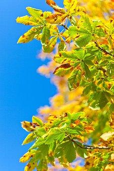 Horse Chestnut Tree, Aesculus, Buckeye Tree, Autumn