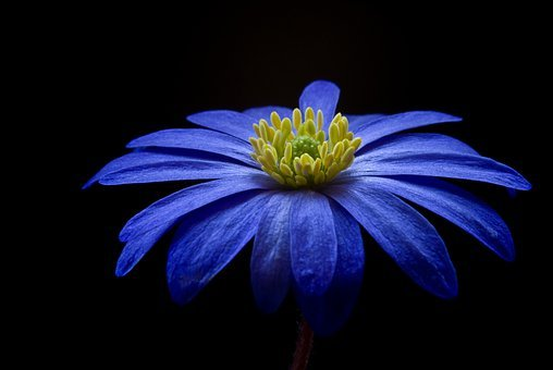 Anemone, Flower, Blossom, Bloom, Blue, Balkan Anemone
