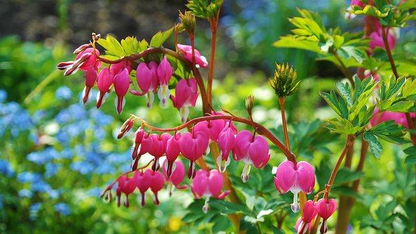 Bleeding Heart, Flowers, Pink, Ornamental Plant, Bloom