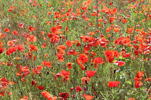 Field, Poppy, Flowers, Summer, Meadows, Red, Campaign