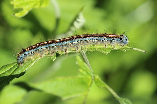 Ringelspinner, Caterpillar, Insect, Hairy, Close, Color