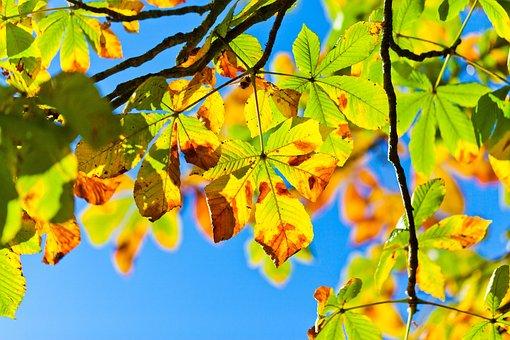 Chestnut Tree, Aesculus, Buckeye Tree, Autumn, Fall