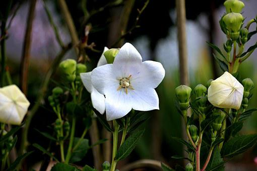 Balloon Flower, Chinese Bellflower, Bellflower, Flower