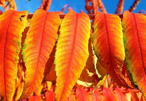 Rhus, Vinegar Tree Leaves, Deciduous, Rhus Typhina