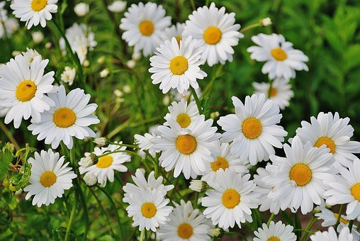 Flower Daisy Plant Spring Marguerite Bloom