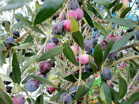 Food, Olives, Fruits, Olives Tree
